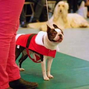 boston-terrier-xmas-2016